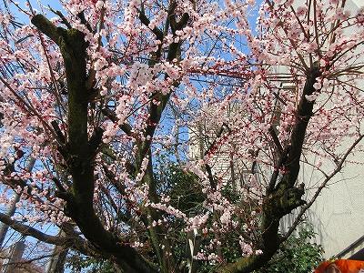 『日本画の教科書 東京編』山種美術館付近の桜.jpg