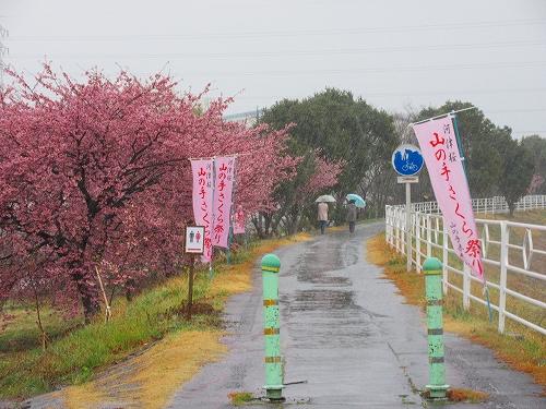 s-雨の山の手桜.jpg